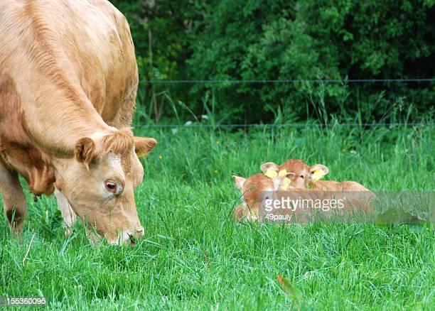 Vache avec deux calfs Charolais
