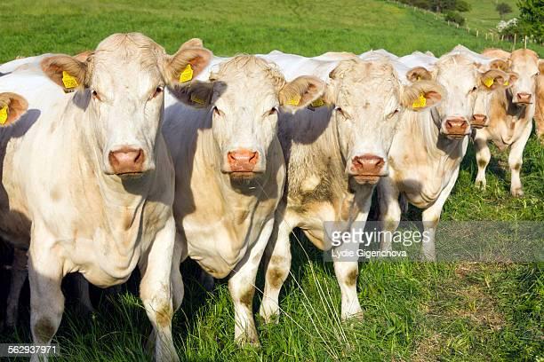 Charolais cows, Moravskoslezsky region, Czech Republic