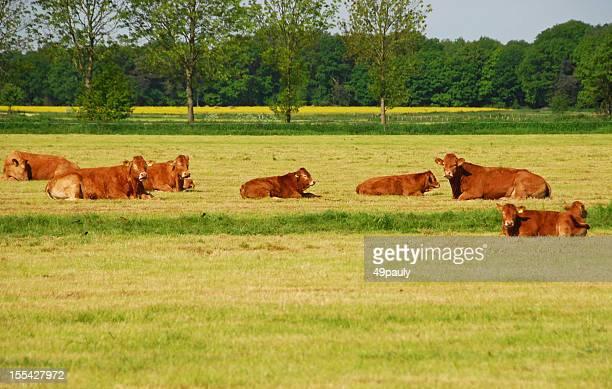 Charolais troupeau Mettez-vous dans un paysage
