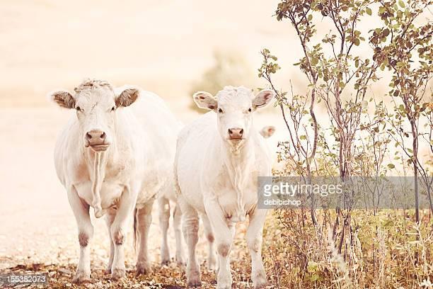 Vache Charolaise debout et regarder la caméra sur le Ranch du Montana