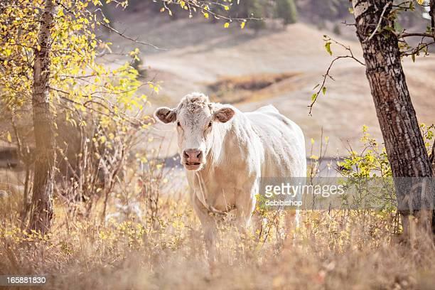 Charolaise Vache dans le Montana Pâturage Regardant l'objectif