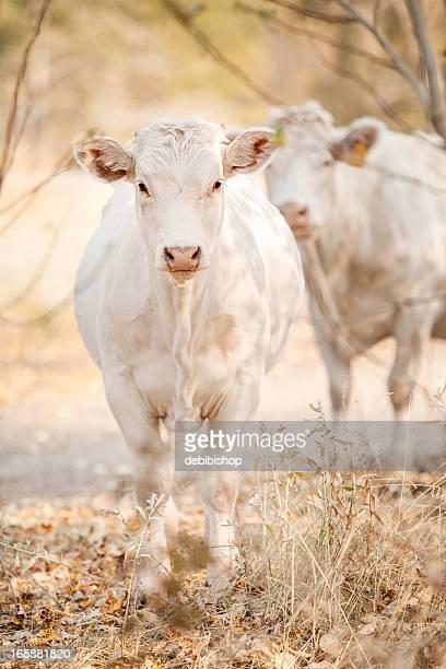 Charolaise Vache Standing & regardant la caméra, vue de près, dans le Montana