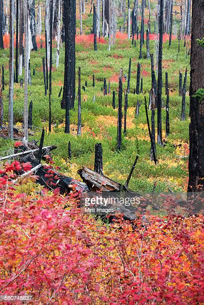 Charred tree stumps and vibrant new growth, red and green foliage and plants in the forest after a fire.