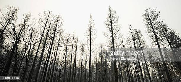 Charred trees line US Highway 191 after the Wallow Fire jumped the road moving towards town on June 10 2011 in Alpine Arizona The fire which is five...