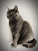 Chartreux Against Wall On Table