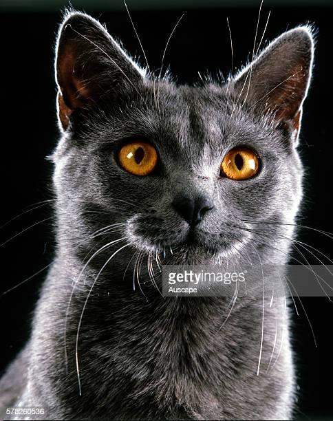 Chartreux cat Felis catus portrait studio photograph