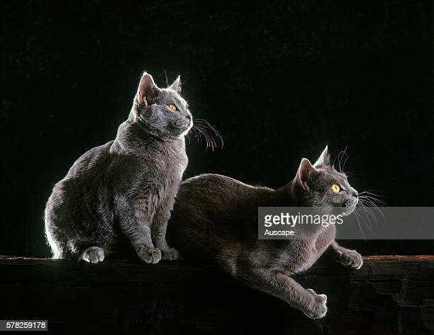 Chartreux cats Felis catus two at night backlit