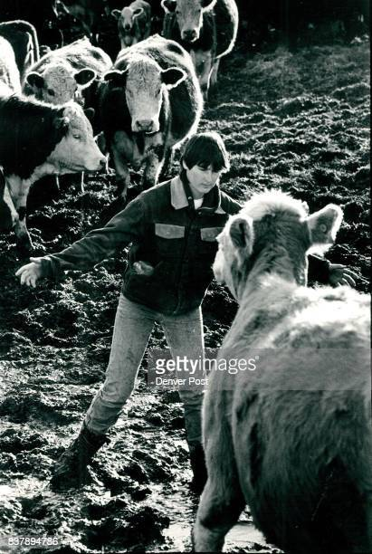 Chasing cow in cattle lot Diane Gramm slops through the mud of a cattle lot keeping a older cow away from the heifers they are trying to bring to a...