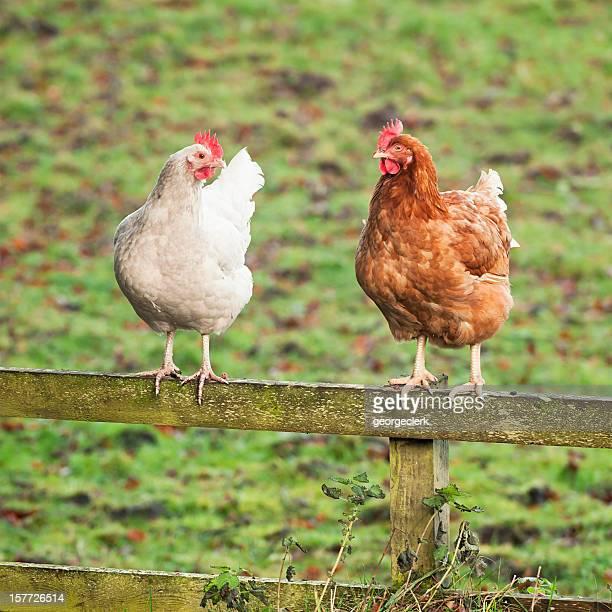 Conversar galinhas-duas galinhas em uma cerca de Madeira