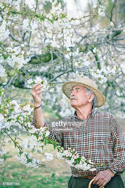 Checking cherry blossom