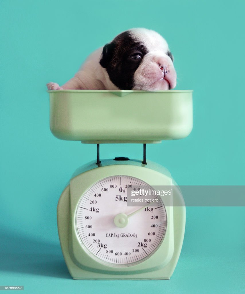 Checking puppy weight : Stock Photo
