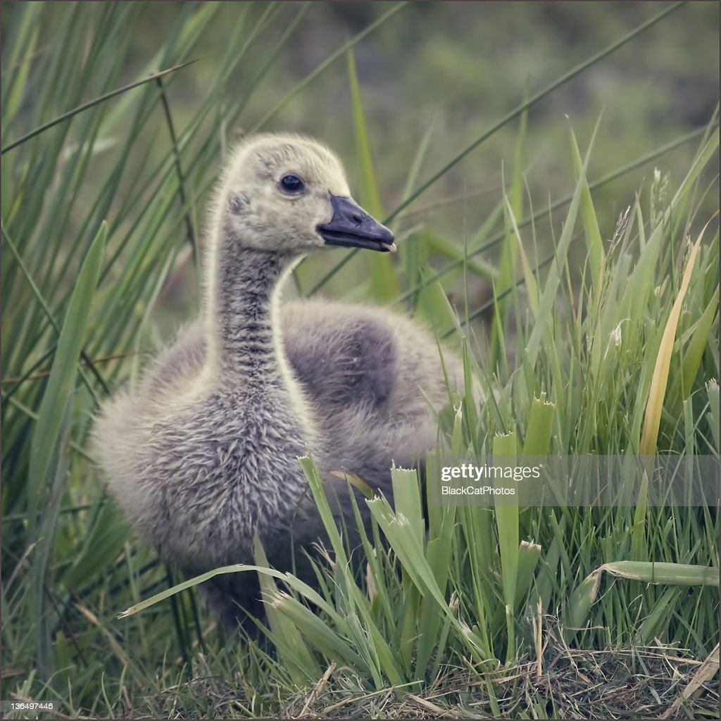 Baby goose (gosling) with his tongue stuck out.