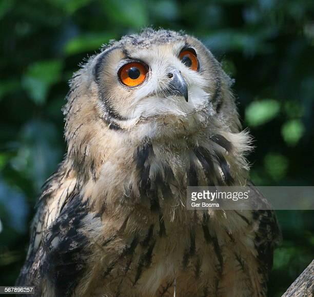 Cheerful Bengal Eagle Owl