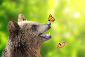 Cheerful brown bear (Ursus arctos) with monarch butterfly sitting on his nose. On sunny green background
