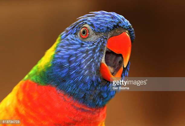 Cheerful Rainbow Lorikeet