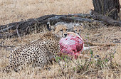 A female cheeta has killed a Thompson antelope and is starting to eat in the shadow of a tree on the savanna in Masai Mara game reserve, Kenya. Her 4 months old cub is eating with her.