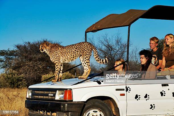 Cheetah, Acinonyx jubatus, atop tourist vehicle as a high vantage point, endangered species. Namibia. Dist. Africa & Middle East. (MR) (PR: Property Released)