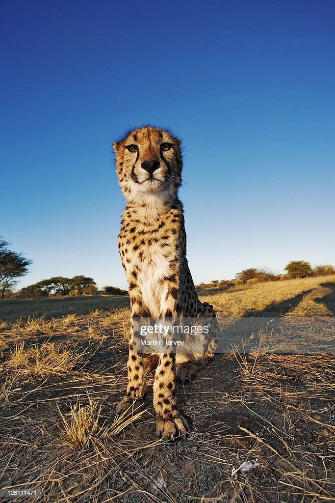 Cheetah, Acinonyx jubatus. Endangered species. Namibia. Dist. Africa & Middle East. : Stock Photo