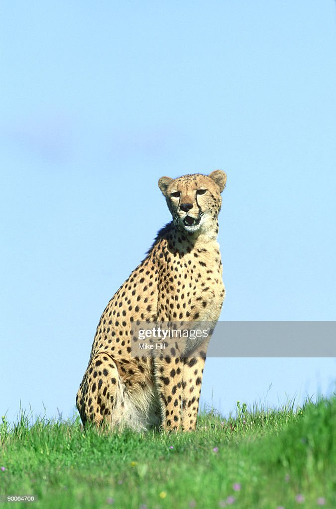 cheetah: acinonyx jubatus  in green grass  (wildlife model)