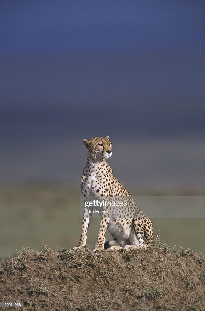 cheetah acinonyx jubatus on mound kenya