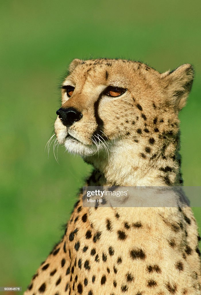 cheetah: acinonyx jubatus  portrait  wildlife model