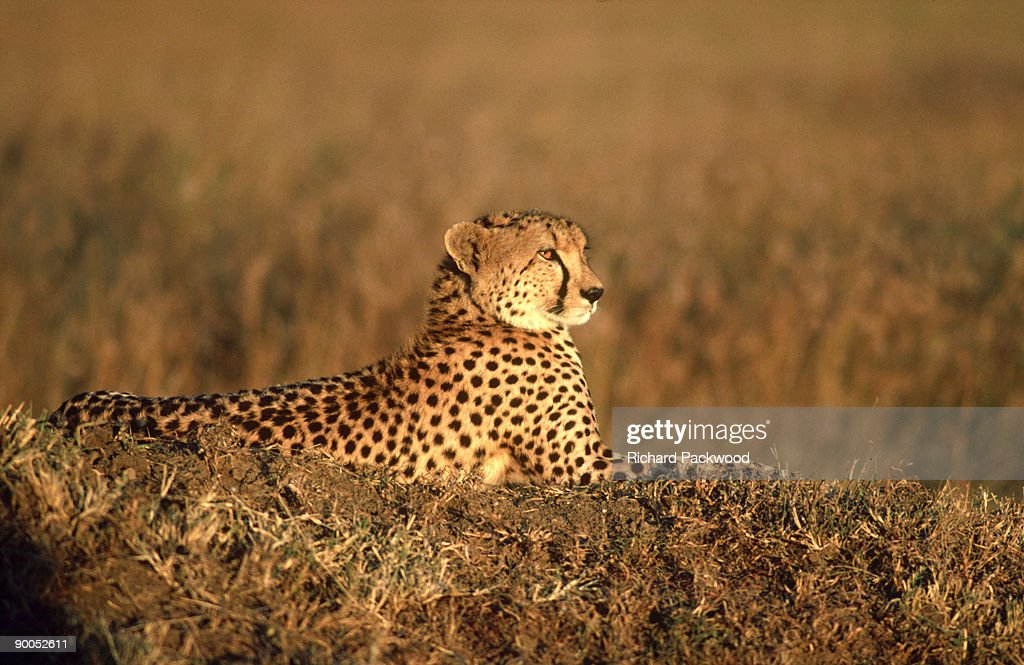 cheetah: acinonyx jubatus  relaxing in evening sun  masai ma ra, kenya