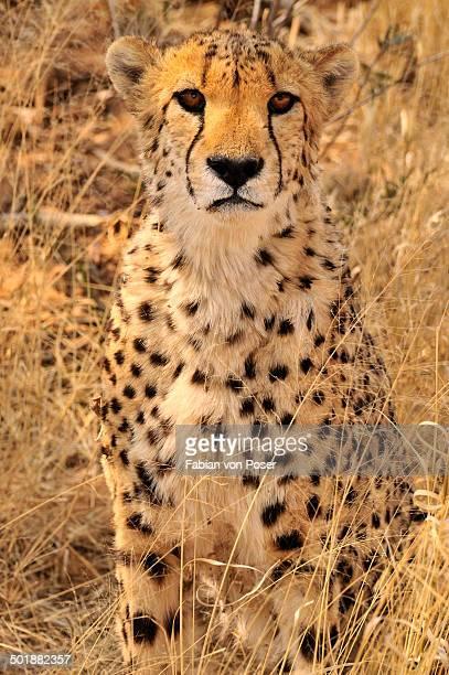 Cheetah -Acinonyx jubatus-, seated, Okonjima Game Reserve, Namibia