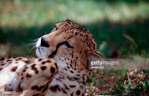 Cheetah Acinonyx jubatus South Africa Kruger National Park