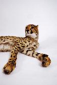 Cheetah (Acinonyx jubatus) against white background