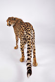 Cheetah (Acinonyx jubatus) against white background, rear view