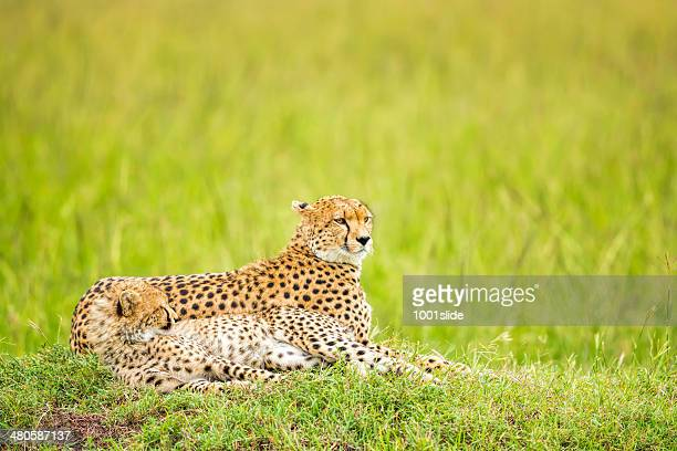 Cheetah and cub - Lying Down