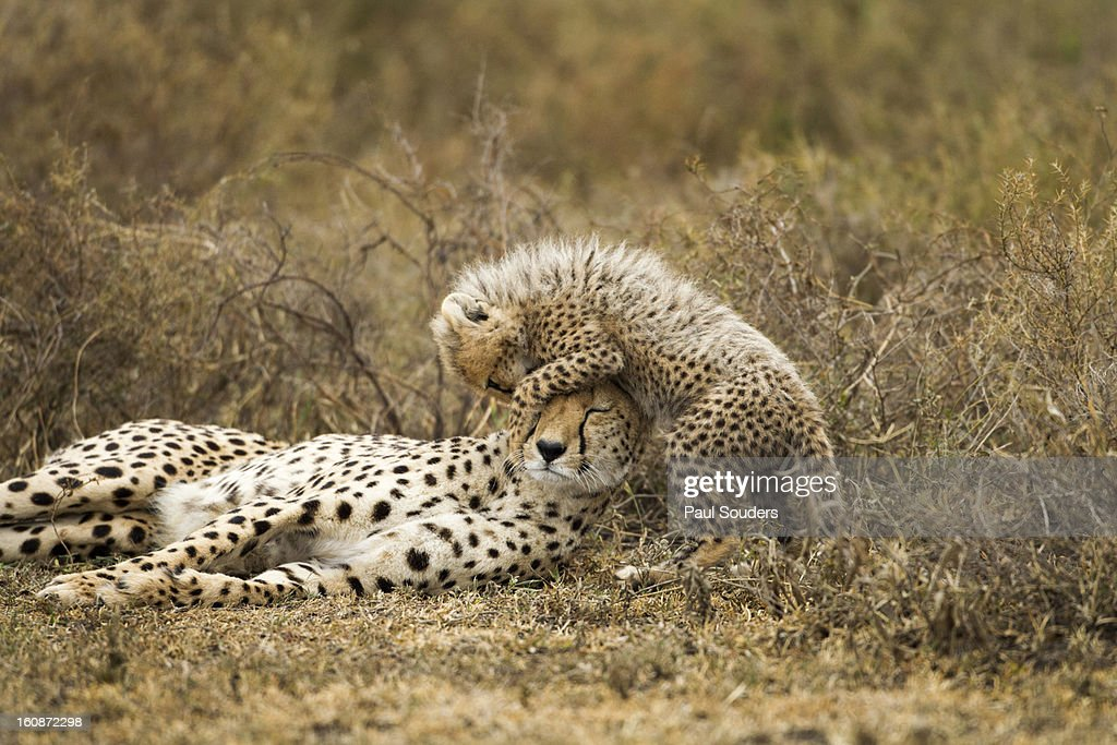Cheetah and Cub, Ngorongoro, Tanzania : Stock Photo