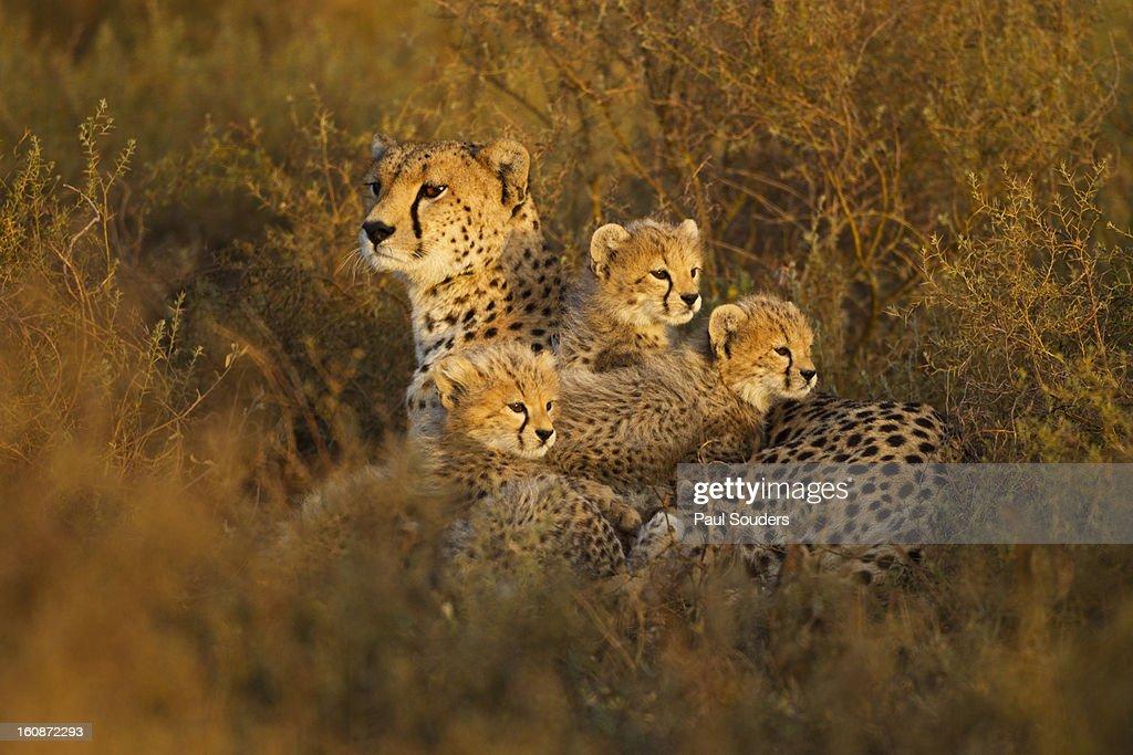 Cheetah and Cubs, Ngorongoro, Tanzania : Stock Photo