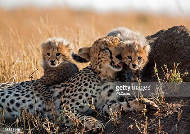 Cheetah y cubs