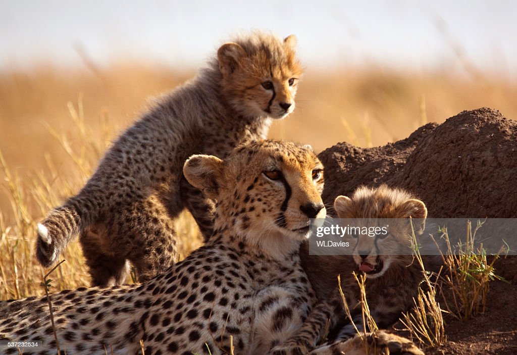 Cheetah and cubs : Stock Photo
