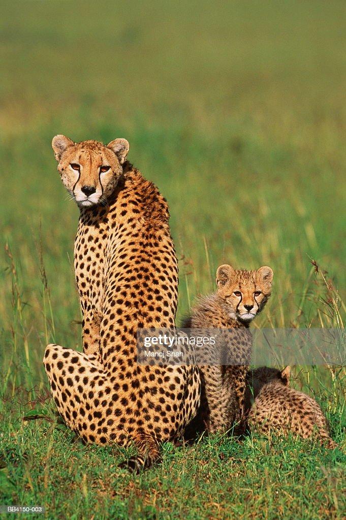 Cheetah and cubs (Acinonyx jubatus) with alert expressions : Stock Photo