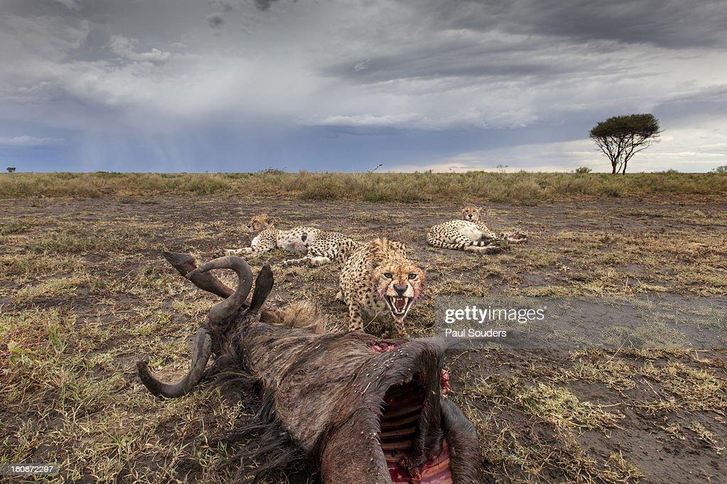 Cheetah and Kill, Ngorongoro Area, Tanzania : Stock Photo