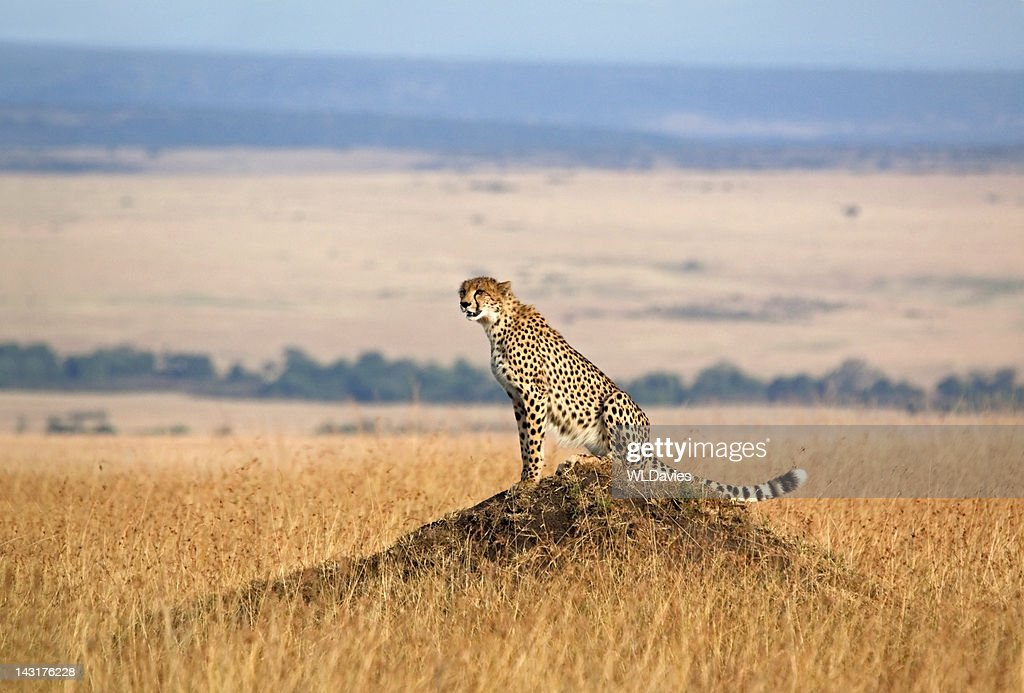 Cheetah and open landscape