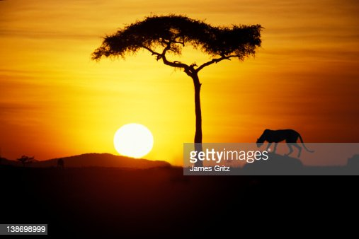Cheetah and tree silhoutte at sunset : Stock Photo