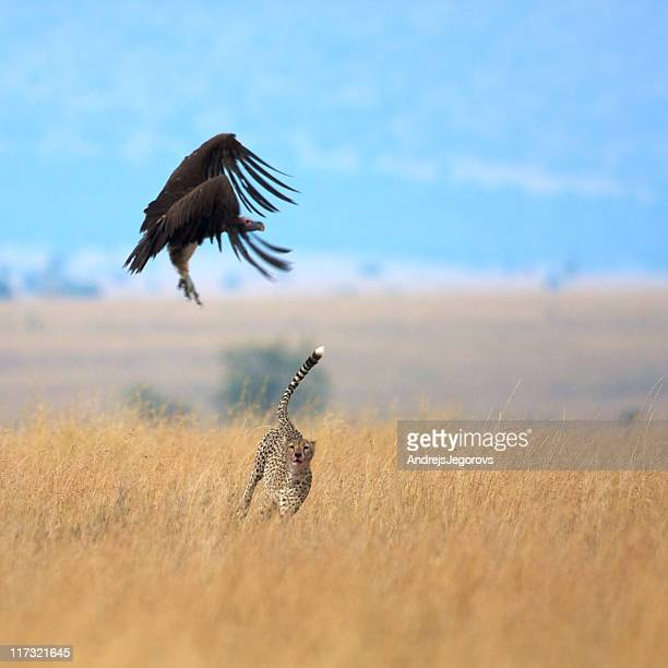 Cheetah  and vulture fighting for prey