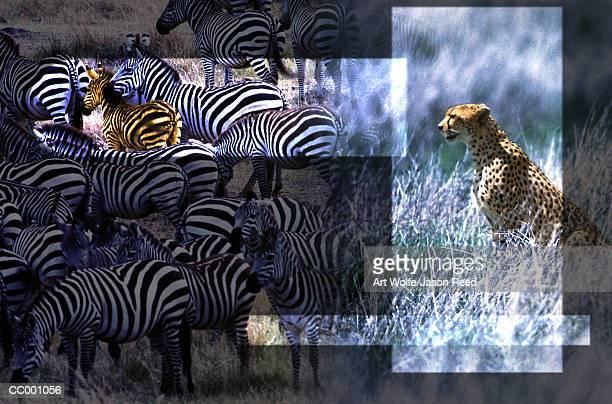 Cheetah and Zebras