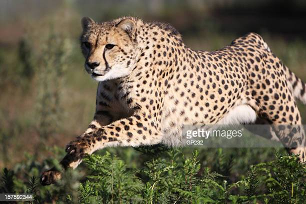 Cheetah at full speed