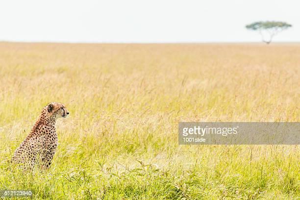 Cheetah at wild - Watching