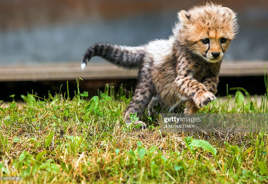 A cheetah baby plays as its explores its outdoor enclosure at the zoo in Rostock northeastern Germany on June 15 2015 AFP PHOTO / DPA / JENS BUETTNER...