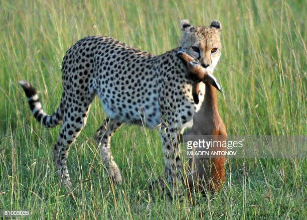 A Cheetah carries in he mouth an live Impala fawn to train her two cubs in the art of chasing in MasaiMara game reserve in Kenya April 26 2008 AFP...