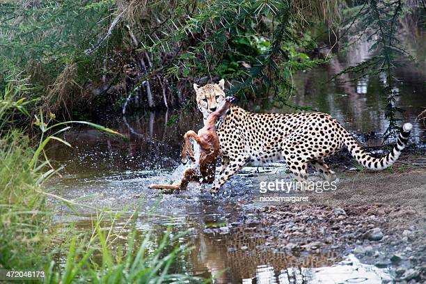 Cheetah catching prey in the Serengeti