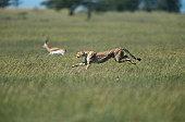 Cheetah (Acinonyx jubatus) chasing a gazelle, side view, Masai Mara, Kenya