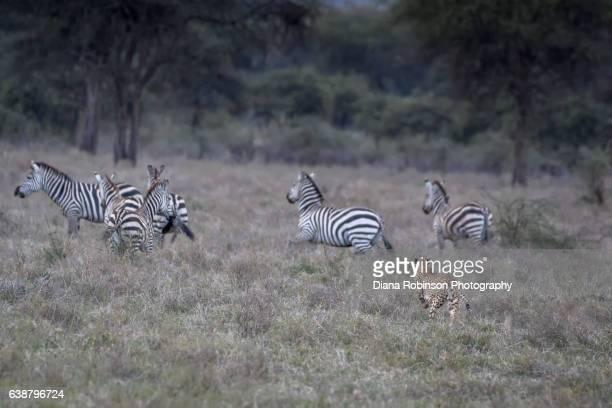 Cheetah chasing zebras in Ndutu, Tanzania