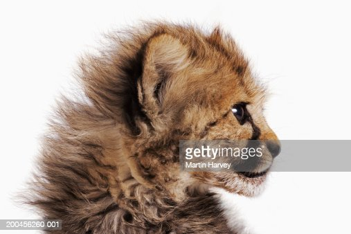 Cheetah cub (Acinonyx jubatus) against white background, close-up : Stock Photo