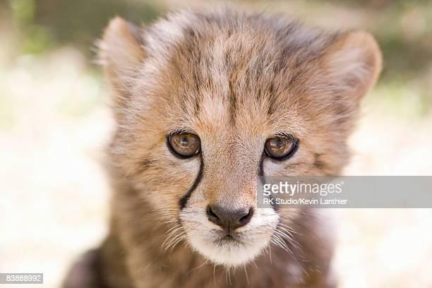 Cheetah cub, close-up
